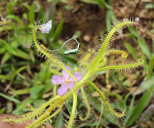 Drosera indica from Madayippara 07