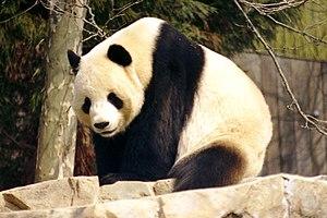 """Male Giant Panda """"Tian Tian"""" (*1997)..."""