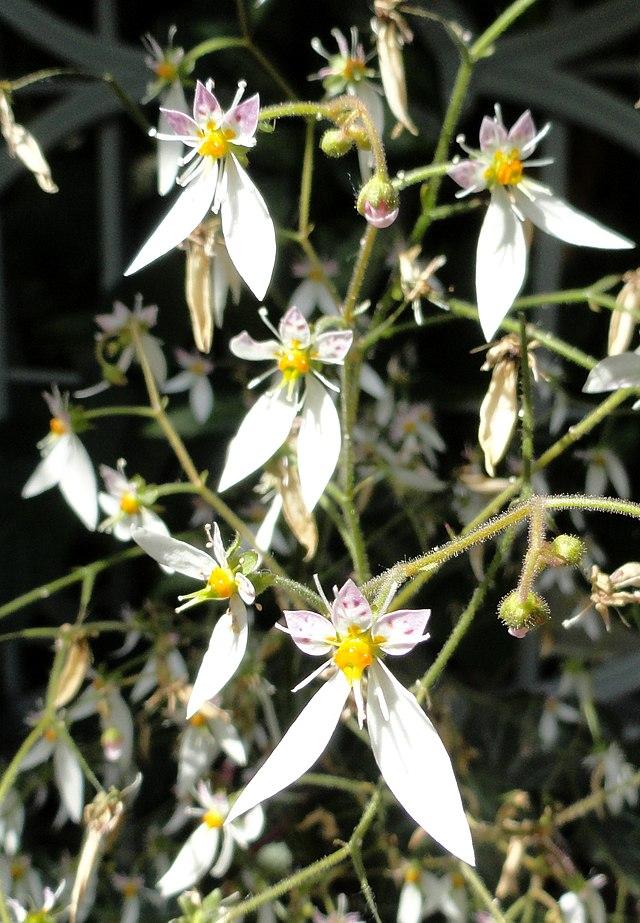 Saxifraga stolonifera - United States Botanic Garden - DSC09506.JPG