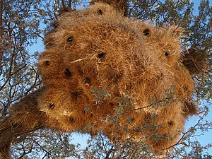 Nests of Social Weaver Philetairus socius
