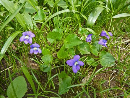 Controlling Wild Violet Weeds in the Lawn