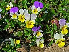 Viola tricolor 001