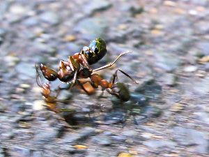 The dead ant is likely to be a queen. Name: Fo...
