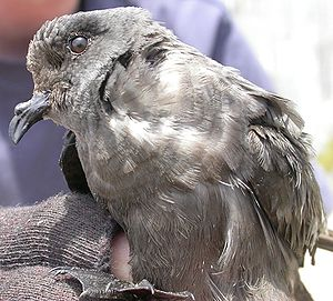 The decline of the Ashy Storm Petrel has led t...