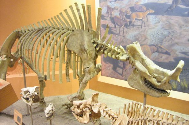Skeleton of Brontotherium