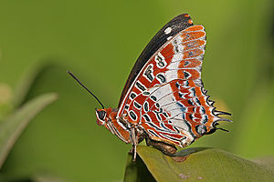 Charaxes brutus natalensis. Pictured in Dar es...
