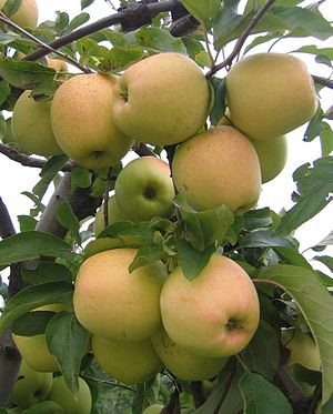 Fruits of apple cultivars - Golden Delicious