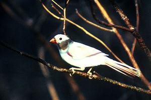 English: Aberrant Northern Cardinal