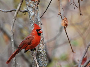 English: Northern Cardinal, Cardinal, Cardinal...