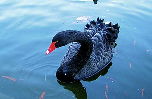 English: Black Swan in a Pond