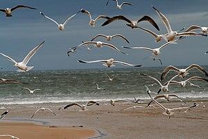 Mixed flock of Larus argentatus and Larus canu...