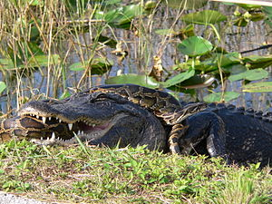 English: An American alligator and a Burmese p...