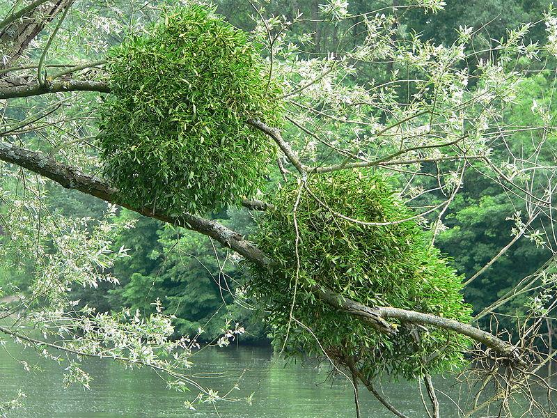 File:Mistletoe P1210829.jpg