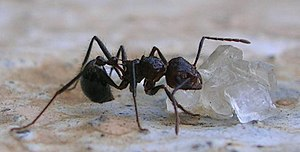 Myrmicaria brunnea feeding on sugar crystals