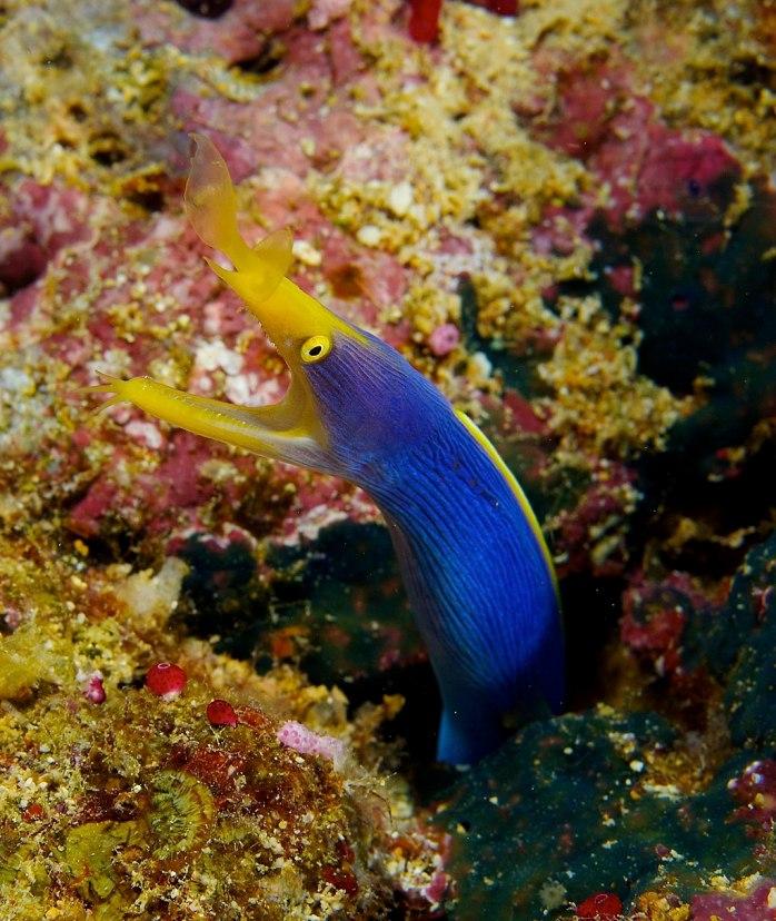 Rhinomuraena quaesita Ribbon Eel Fiji by Nick Hobgood