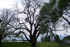 English: The National Champion Black Walnut (J...