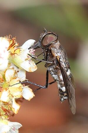 Bee fly feeding