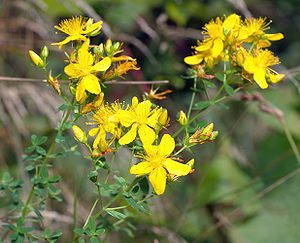 This image shows a cf. St. John's wort (Hyperi...
