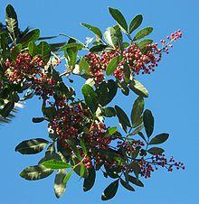 https://i2.wp.com/upload.wikimedia.org/wikipedia/commons/thumb/3/3f/Schinus_terebinthifolius_fruits.JPG/220px-Schinus_terebinthifolius_fruits.JPG