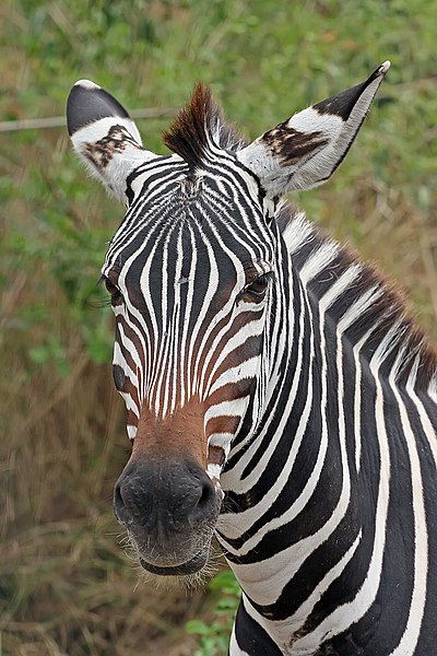 File:Zebra portrait.jpg