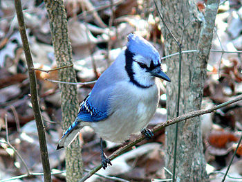 A Blue Jay (Cyanocitta cristata) perched on a ...