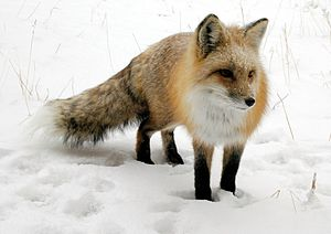 Tatiana's photo of Freddy the Fox
