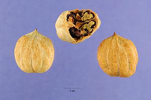 Carya glabra