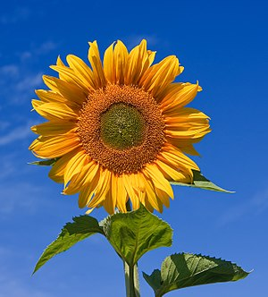 English: Sunflower (Sunfola variety) against a...