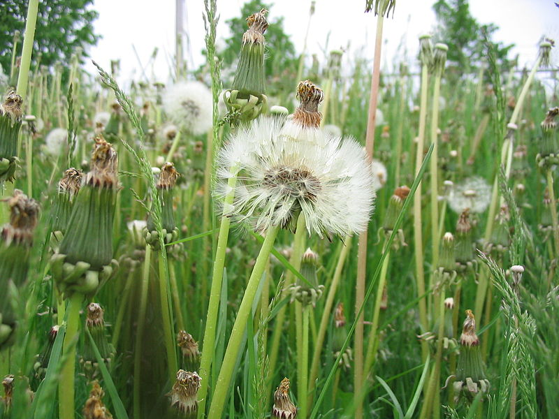 File:Weeds in Waterloo, Ontario.jpg