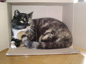 English: Cindy the Calico Cat