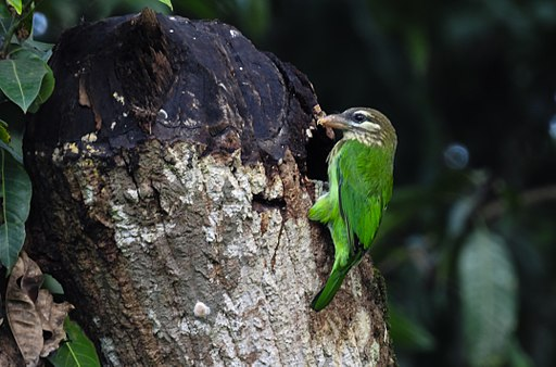White-cheeked barbet 1 by Krishnakumar