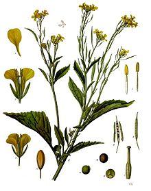 Brassica juncea - Köhler–s Medizinal-Pflanzen-168.jpg