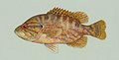 Chaenobryttus gulosus.jpg