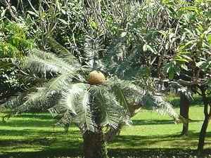 Cycad at the royal palace grounds, Laung Praba...