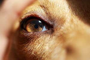 English: Eye of a dog