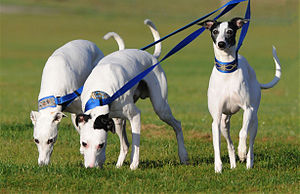 """English: """"Fireworks Whippets"""" at NAW..."""