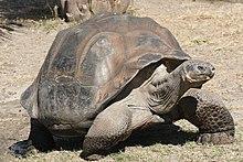 Adult Galápagos tortoise