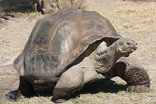 Galapagos giant tortoise Geochelone elephantopus