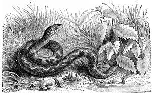 Small viperine snake
