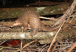 English: Pangolin, Manis javanica Deutsch: Sch...