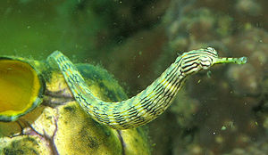 https://i2.wp.com/upload.wikimedia.org/wikipedia/commons/thumb/4/42/PipeFish.jpg/300px-PipeFish.jpg