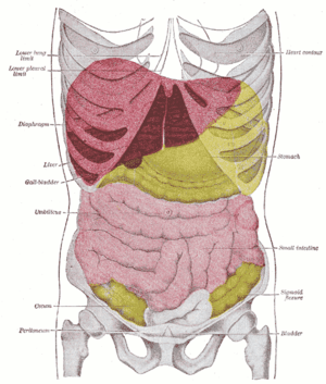 Anterior view of the position of the liver (re...
