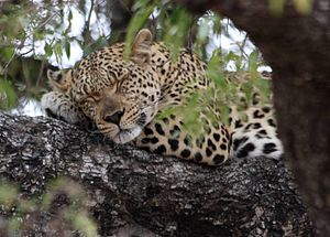 Leopard (Panthera pardus) resting in tree. Pho...