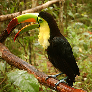 Keel-billed Toucan (also known as Sulfur-breas...