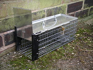 English: A cage trap designed to catch rats. T...