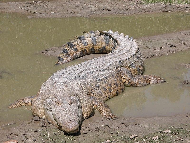 Archivo:SaltwaterCrocodile('Maximo').jpg