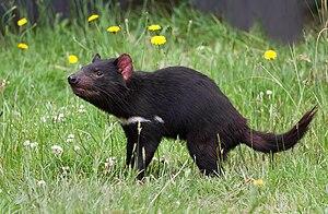 Tasmanian Devil (Sarcophilus harrisii), Tasman...