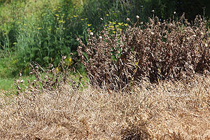 Weeds sprayed by a herbicide. Taken in Victori...