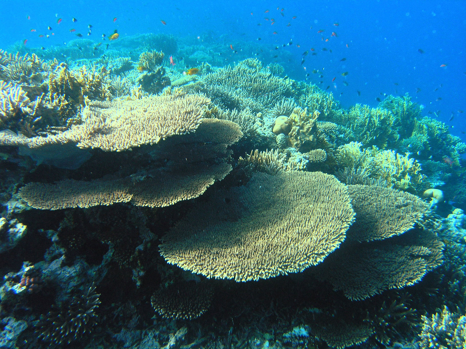 File:Coral Reef in the Red Sea.JPG