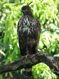 Changeable Hawk Eagle Wikipedia